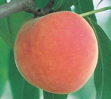 peach-roza.jpg