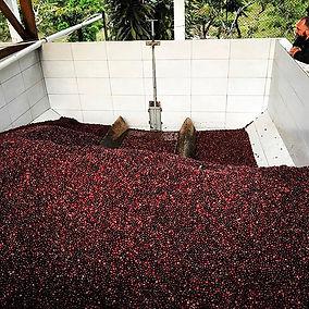 Coffee cherries....jpg