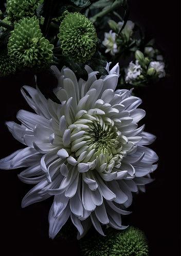 A1 Photograph - White Chrysanthemums