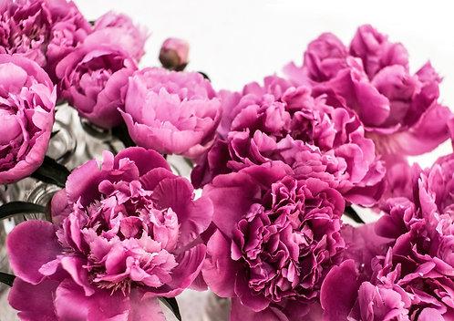 A0 Photograph - Pink Peonies