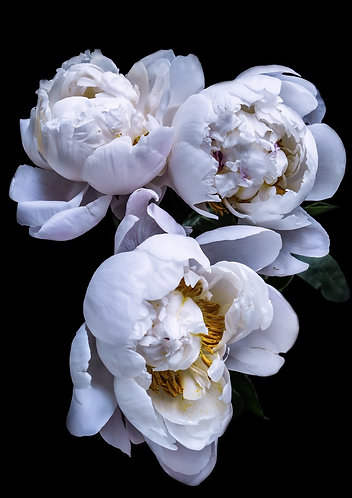 A1 Photograph - White Peonies
