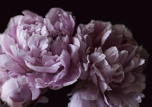 A1 Photograph - Dark Pink Peonies