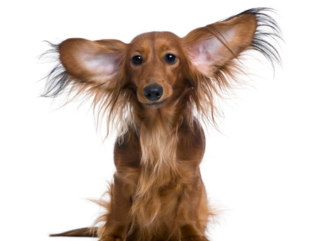 Time to Clean Your Pet's Ears?