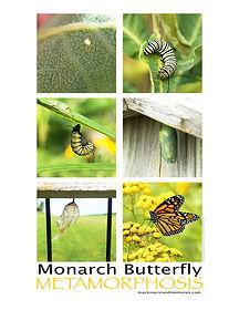 Downloadable monarch metamorphosis photo