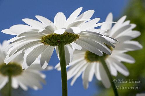 Daisy Cluster
