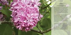 The Gardens of Mackinac Island - Lilacs