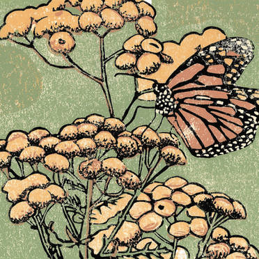 Monarch on Tansy - Monarch Butterfly Print