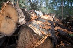 Cedar Pile