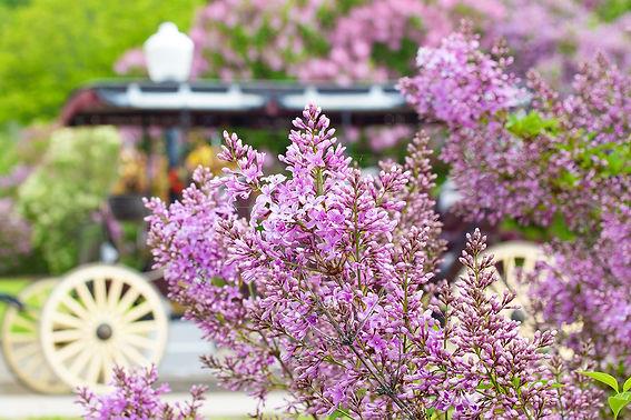 Lilacs.Marina.IMGL0798.jpg