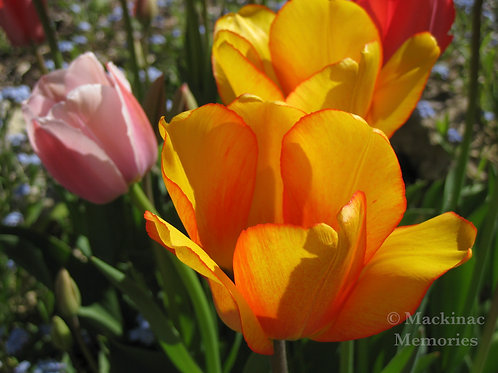 Velvet Tulips
