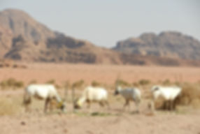 Salvos Oryx 2.JPG