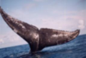 baleias calda frente.jpg
