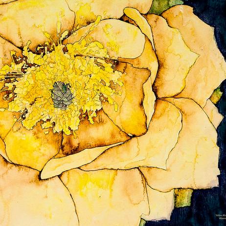 Yellow Cactus Blossom