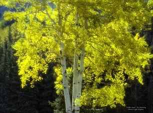 pixels_golden-aspen_24x36.jpg