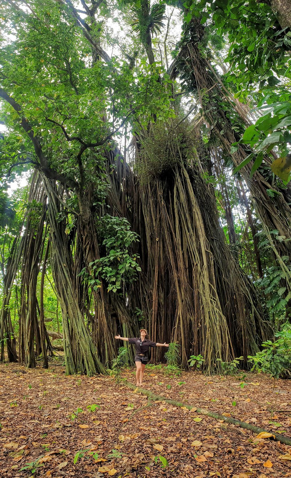 Giant Fig-Tree - Tarobi Islands