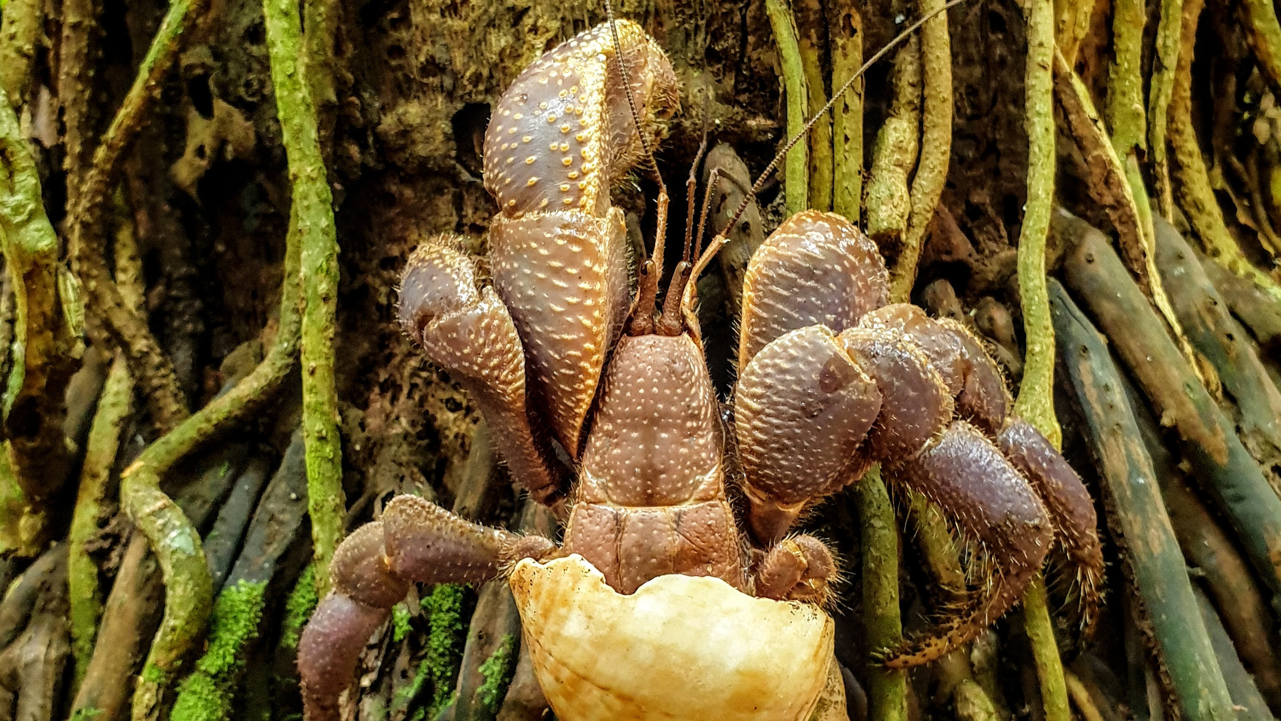 Giant Hermit Crab - Tarobi Islands