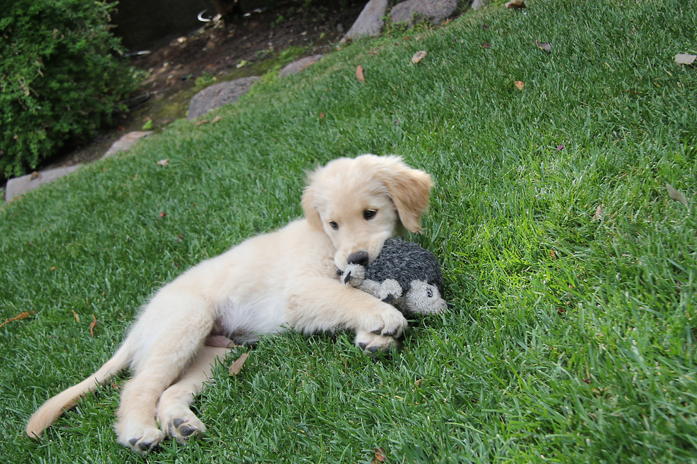Casper, an 8-week-old Golden retriever puppy, lies on his side in the grass with a hedgehog stuffed toy in his mouth.