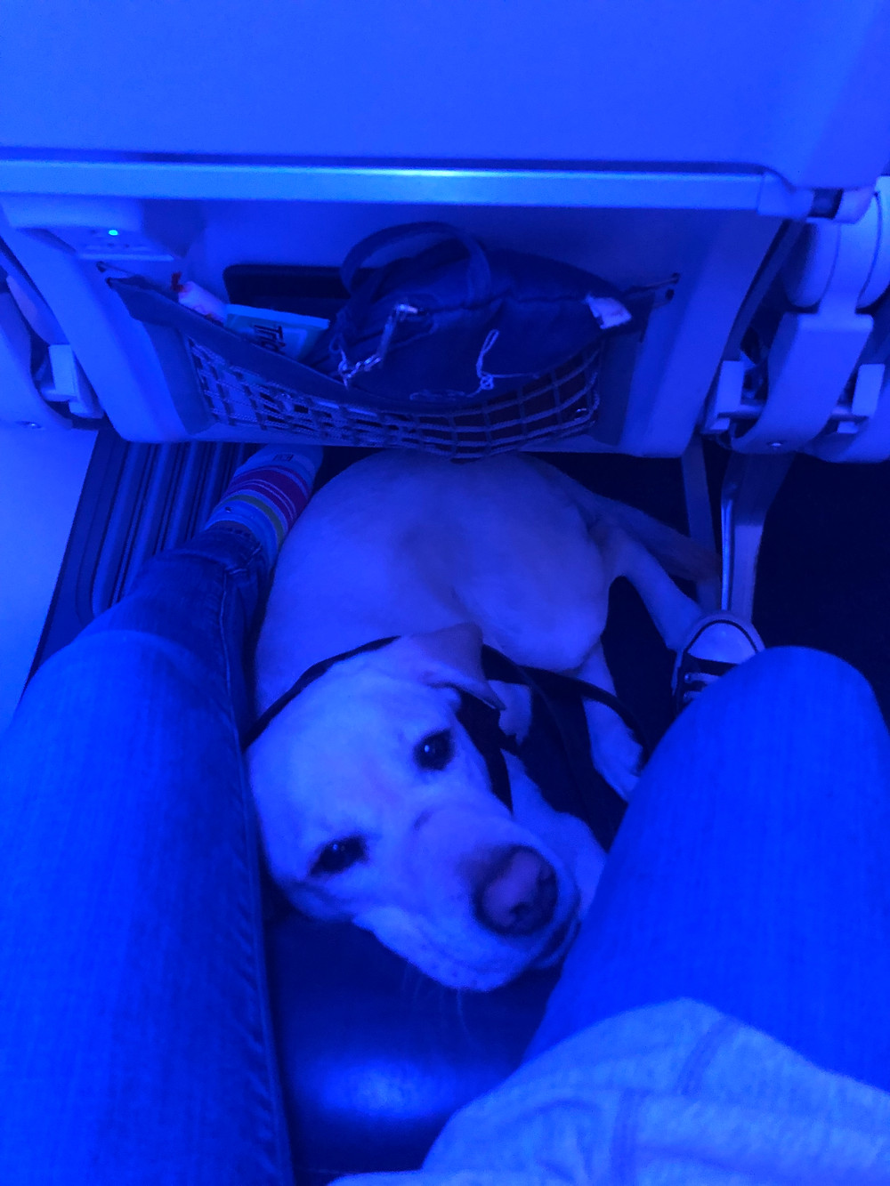 Ricki sitting at my feet on the plane. She's partially under the seat in front of me. The photo is cast blue from the lights on the plane.
