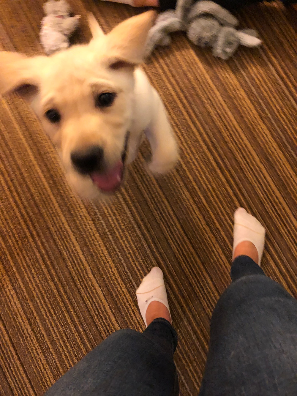 A 9 week old puppy is jumping towards the camera, ears flying. You can see my legs and socks and some dog toys blurred in the background.
