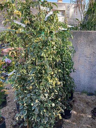 Bignone jasminoïdes variegata - 5L