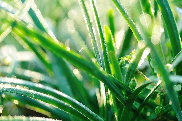 Ciboulette bio - pot de 2,5L