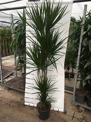 Dracaena Marginata - 5 plantes