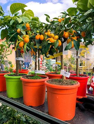Kumquat - pot de 20cm