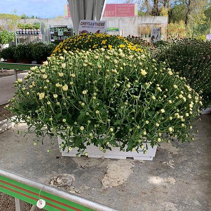 Chrysanthème pomponette jardinière