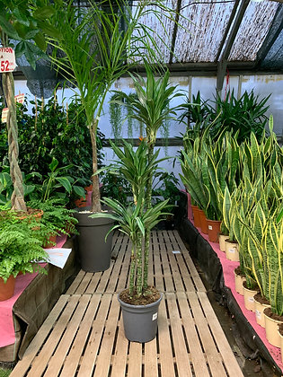Dracaena Warneckei - 3 plantes