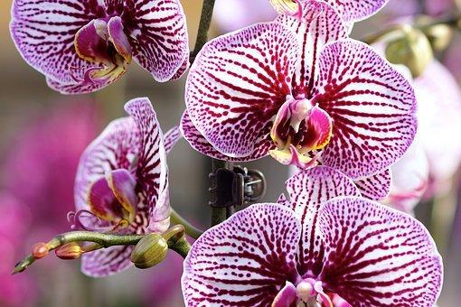 Orchidée phalaenopsis mix 2 tiges
