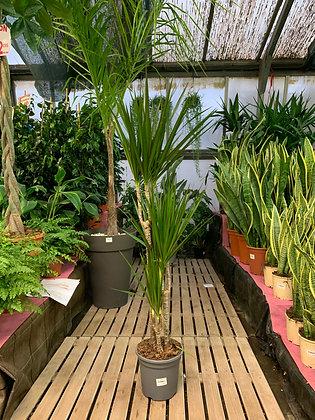 Dracaena Marginata - 3 plantes