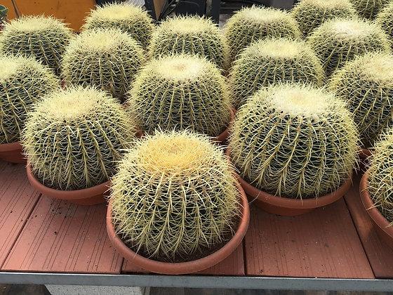Echinocactus Grusinii