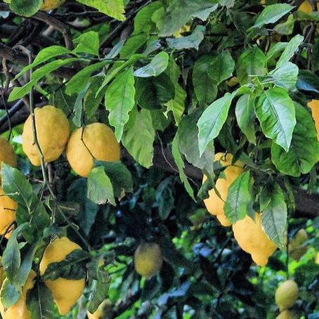 Le citronnier 4 saisons