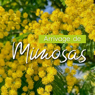 encart_mimosa-02.jpg