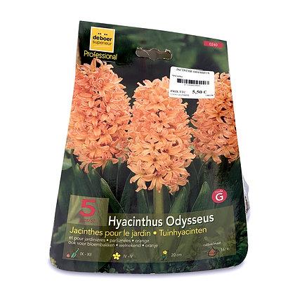 Jacinthe odysseus - bulbes