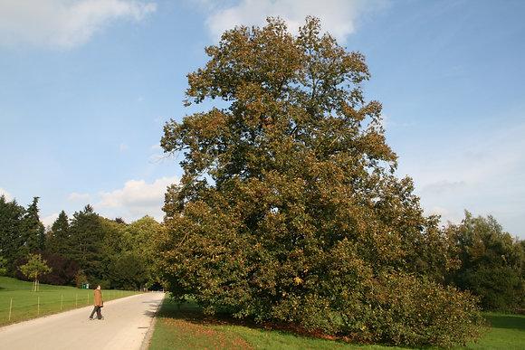 Tilleul à grandes feuilles - 180L
