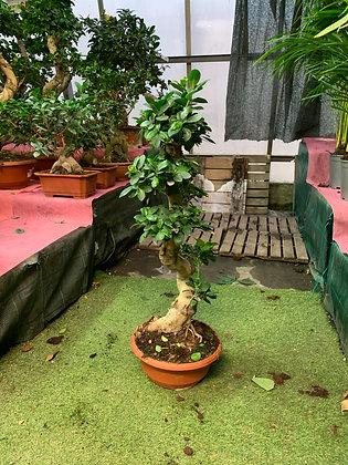 Ficus Shape - 80cm