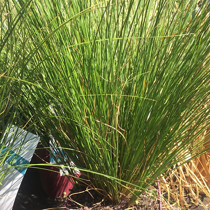 Graminée - Carex flagellifera 'kiwi'