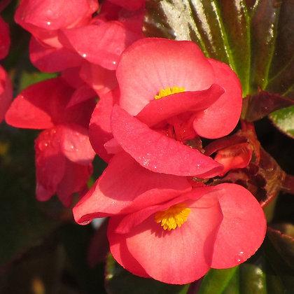 Begonia - pot de 14cm