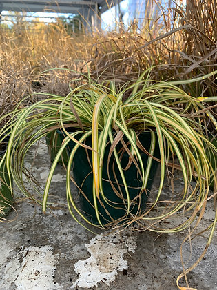 Carex oshimensis vergold compact