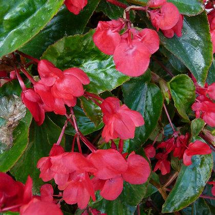 Begonia dragon wing - pot de 13cm