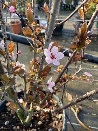 Prunus pis nigra