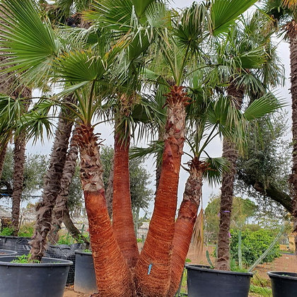 Washingtonia robusta groupe