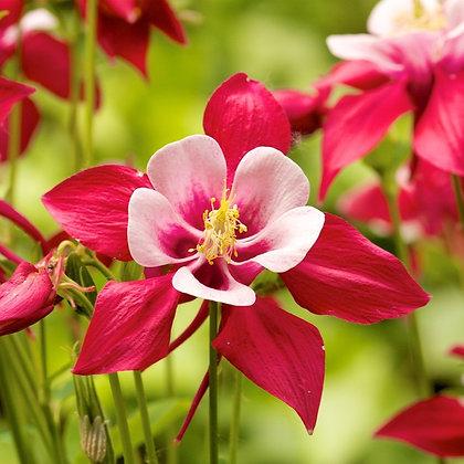 Ancolie rouge - godet
