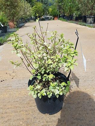 Pittos tenuifolium Irene Paterson