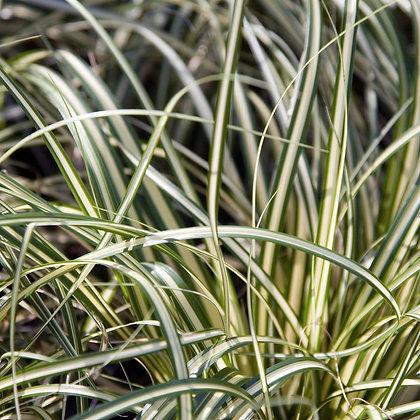 Graminée - Carex oshimensis