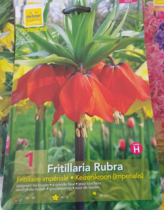Fritillaria Rubra - Bulbes