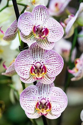 Orchidée phalaenopsis 2 tiges + Cache-pot offert