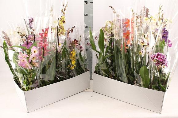 Orchidée 1 tige - mix