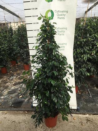 Ficus Danielle - 150cm